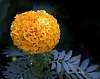 Like an Orange PomPom