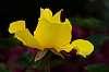 Yellow Rose Of Sherwood, Oregon. :)