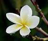 A single Tropical flower