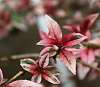 Wife's Fuschia Plant Leaves. Number III