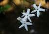 Very Pretty and Aromatic Jasmine Flowers.