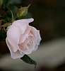 A delicate Pink Rose