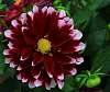 Awesome Looking Dahlia.