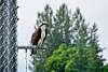 Osprey at Work.
