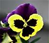 Awesome Looking Pansy Flower.