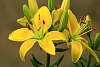 Beautiful Yellow Lily.
