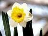Wonderful Looking Daffodil.