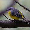 The ever-curious Yellow Robin