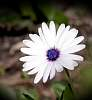 That White Daisy