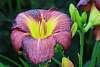 A pretty lily.