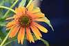 Echinacea I Believe.