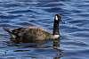 Bernache goose Canada
