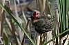 Red-headed urubu chick (vulture)