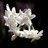 White Jonquils