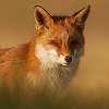 Fox__Renard