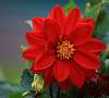 Awesome Red Dahlia. :)