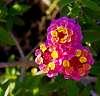 One of my Wife's Lantana plant flowers.