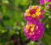 Another One Of My Wife's Lantana Plant Flowers.