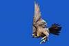 Peregine in territorial flight