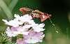Hummingbird clearwing Having a Pee in Flight [Hemaris thsybe]