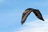 Parabuteo unicinctus (Harris's Hawk) in the wild in Patagonia