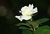 An Amazing White Rose. :)