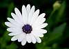 White Daisy with