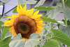 Awesome and Colossal Sunflower.