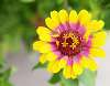 An Echinacea Flower I Believe.