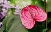 Another Rare Anthurium Plant Flower.