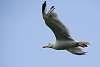 Basque Gull