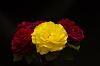 """Roses - Unknown yellow, and """"The Prince"""""""