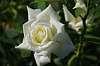 Rose: Polarstern