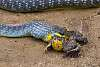 A snake's lunch (Be warned - quite graphic)