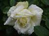 Droplets on a White Rose