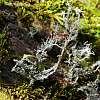 Giant lichen