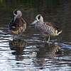 Pink-eared Ducks
