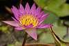 Lotus Flower in Hong Kong