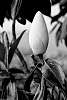 Monochrome Magnolia Bud