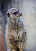 Meerkat cuteness with the Q