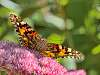 Painted Lady looking at You