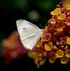 Hungry White Butterfly
