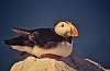 Altantic  Puffins from long ago...