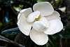 Mature Magnolia Blossom