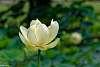 Monochrome American Lotus