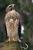 Immature Red-shouldered Hawk Perched on feeder post