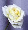 Cream coloured