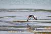 Eurasian oystercatcher in flight