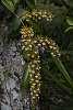 Epidendrum-stamfordianum