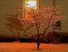 Cherry Tree at Midnight